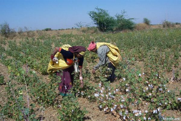 1 hand-picking-of-kala-cotton-from-farm-large-001.jpg